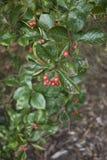Crataegus prunifolia  branch. Foliage and red fruits of Crataegus prunifolia Royalty Free Stock Photos