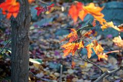 Foliage. Red and Yellow autumn leaves Stock Images