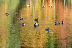 Foliage reflected onto pond with mallard ducks and Canada geese. This shows assorted trees in fall colors partially reflected into a pond while mallard ducks and Royalty Free Stock Image