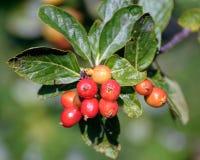 Foliage and ripen fruits of dwarf whitebeam Sorbus chamaemespil. Ripen fruits and foliage on baranches of  false medlar or dwarf whitebeam Sorbus chamaemespilus stock photos