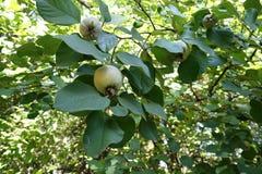 Foliage and fruits of Cydonia oblonga. Foliage and ripening fruits of Cydonia oblonga Royalty Free Stock Image