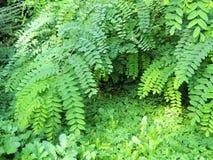Foliage Robinia pseudoacacia Stock Image