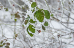 Foliage of rose-canina under hoar frost in winter garden Stock Image