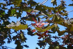 Foliage and samaras of purple leaf cultivar of Norway maple against blue sky. Foliage and samaras of purple leaf cultivar of Norway maple against the sky royalty free stock images