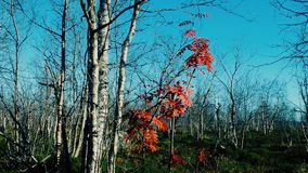 Foliage showered with birch trees, last red leaves of mountain ash stock video