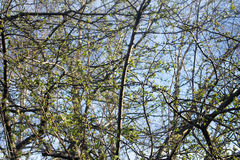 Foliage in Spring. Branches and leaves against blue sky Royalty Free Stock Photos
