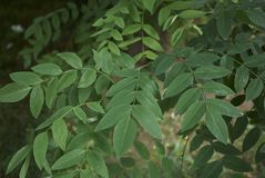 Foliage of Styphnolobium japonicum. Branch with leaves of Styphnolobium japonicum tree Royalty Free Stock Image