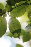 Foliage 1 Royalty Free Stock Image