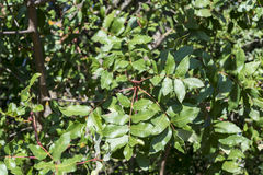 Foliage of Terebinth, Pistacia terebinthus Royalty Free Stock Images