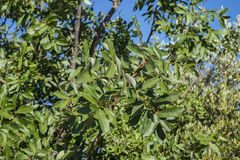 Foliage of Terebinth, Pistacia terebinthus Stock Photography