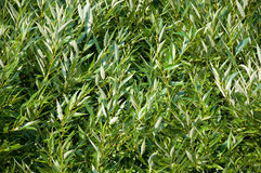 Foliage texture. Textured backround of willow foliage stock images