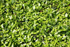 Foliage Thick and Green Stock Photos