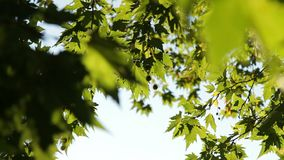 The foliage of a tree. Large green leaves swaying in the wind stock video