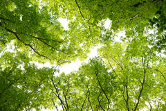 Foliage of tree in spring Royalty Free Stock Image