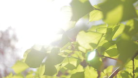 Foliage on the tree, sun. Foliage on the tree in the sun stock video footage