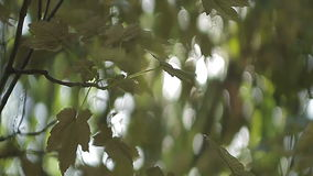 Foliage on the tree  in the sun. Foliage on the tree maple  in the sun stock video footage