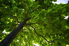 Foliage of a tree Royalty Free Stock Photo