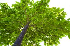 Foliage of a tree Stock Image