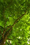 Foliage of a tree Stock Photography