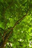 Foliage of a tree Stock Photography