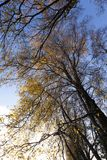Without foliage trees. Almost without foliage trees and a little yellow foliage on the trunks in the autumn season, against the background of the blue sky, are royalty free stock photos