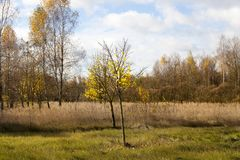Foliage trees. Almost without foliage trees and a little yellow foliage on the trunks in the autumn season, against the background of a gray sky in cloudy royalty free stock images