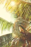 Foliage of Tropical Palm Tree in Sun Beams Royalty Free Stock Photos