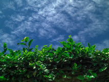 Foliage. Twisted plant. Glowing green. green leaves. blue sky. The sky in small clouds. Spindrift clouds Royalty Free Stock Images