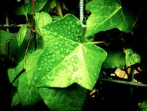 Foliage, Vine, Climbing Plant, Ivy Stock Photos
