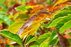 Foliage of virginia creeper Royalty Free Stock Images