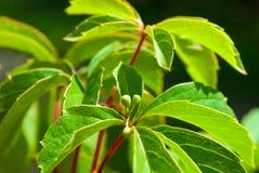 Foliage of virginia creeper Royalty Free Stock Image