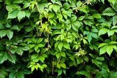Foliage of vitis Stock Photography