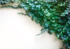 Foliage and wall Stock Images