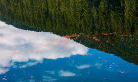 Foliage on the water reflecting spruce forest. Beautiful nature background of foliage on the water reflecting spruce forest stock image