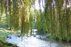Foliage of weeping willow with Aude river in background Royalty Free Stock Images