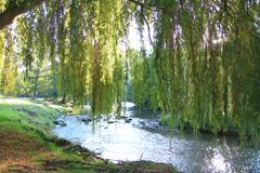 Foliage of weeping willow with Aude river in background. Occitanie in South of France Royalty Free Stock Images
