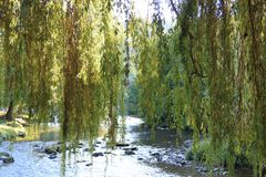 Foliage of weeping willow with Aude river in background. Occitanie in South of France Royalty Free Stock Photos