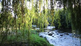 Foliage of weeping willow with Aude river in background stock video