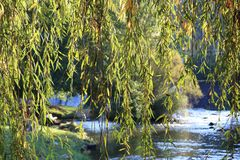 Foliage of weeping willow with Aude river in background. Occitanie in South of France Royalty Free Stock Photo
