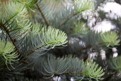 Foliage of a white fir. ( Abies concolor Stock Image
