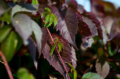 Foliage of wild grapes Royalty Free Stock Photography