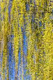 Foliage on a willow. The first green and yellow foliage on a willow tree in early or mid spring, warming causes foliage to grow royalty free stock photography