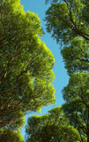 The foliage of willow trees from below against the blue sky. Bottom-up forest. the leaves on the background of the sky royalty free stock photo