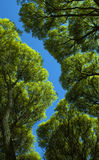 The foliage of willow trees from below against the blue sky. Bottom-up forest. the leaves on the background of the sky royalty free stock images