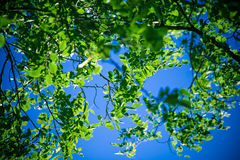 Foliage in wind. Summer wind blowing acacia foliage, bright colors Stock Photos