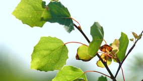 Foliage of the Young Tree. Leaves of a young tree against a blue sky swinging in the wind stock video