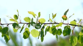 Foliage of the Young Tree. Leaves of a young tree against a blue sky swinging in the wind stock video footage