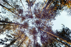 The foliages of trees from bottom-view Royalty Free Stock Photo