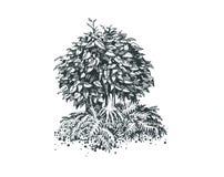 Foliar bonsai Royaltyfri Foto