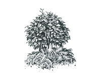 Foliar bonsai. Pen drawing. Illustration of a small bonsai Royalty Free Stock Photo
